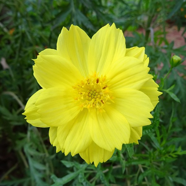Getarrivals-cosmos-yellow_600x600